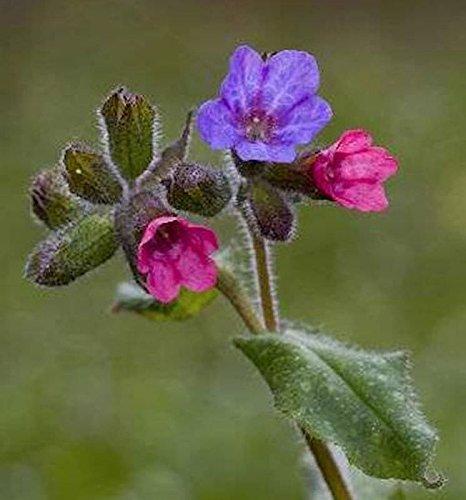Weiches Lungenkraut - Pulmonaria mollissima