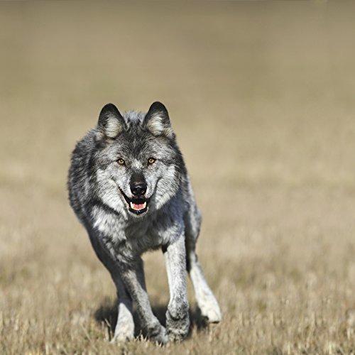 The Poster Corp Richard Wear/Design Pics - Wolf (Canis Lupus) Running Towards Camera; Golden British Columbia Canada Photo Print (38,10 x 38,10 cm)