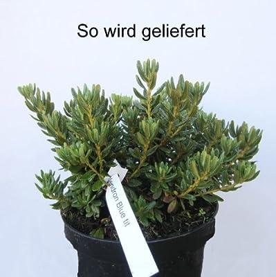 Zwergrhododendron, blau blühend, 1 Strauch von Amazon.de Pflanzenservice auf Du und dein Garten