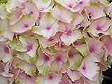 Bauernhortensie `Magical® Four Seasons´ in verschiedenen Farben Farbe rosa