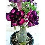 2 PC / bolsa de semillas de rosa del desierto Obesum semillas adenium semillas Bonsai pétalos de la flor doble planta en maceta para el jardín de 100% verdadera semilla