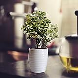 #8: Rolling Nature Aralia In Round White Ceramic Pot