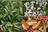 Viburnum Le Bois Marquis - immergrüner japanischer Schneeball (halbimmergrün)