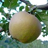 Grüner Garten Shop Apfelbaum Zabergäu Renette Winterapfel Buschbaum mürbe säuerlich 150-170 cm 10 L Topf Unterlage M7
