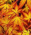 BALDUR-Garten Japanischer Ahorn 'Katsura', 1 Pflanze Acer palmatum von Baldur-Garten - Du und dein Garten