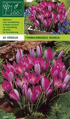"""Crocus - Krokus """" tommasinianus roseus """" (10) von MOSSELMAN bei Du und dein Garten"""