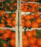 Produkt-Bild: ARISTOS frische Orangen | Apfelsinen | ungewachst & unbehandelt | Auch Saftorangen | Schale zum Kochen Backen Marmelade geeignet | griechischeOrangen (2 kg) Ernte: 27. Januar 2019