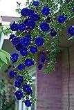 #5: M-Tech Gardens Rare Exotic Rose Flower Live Plant - Blue Climbing Rose ( 1 Live Plant)