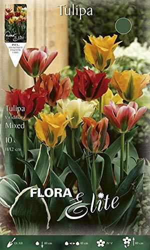 Viridiflora-Tulpe \'Mischung\', Blumenzwiebeln für Herbstpflanzung