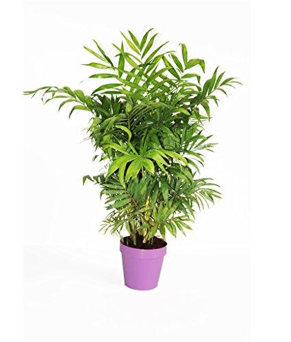 pianta vera da interno palma peruviana- chamaedorea elegans -da appartamento in vaso lilla ornamentale Ø 14 cm - h 60 cm