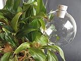 12 Stück, Durstkugel / Bewässerungskugel, 8cm,mit Korken, mundgebl. Lauscha