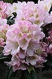 annas-garten Rhododendron 'Brigitte' - Inkarho Pflanze, 5 L Topf, 30-40 cm Pflanzenhöhe, rosa, 60 x 30 x 30 cm, 118400