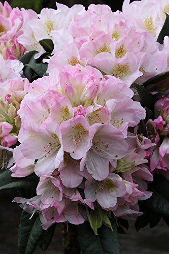 annas-garten-rhododendron-brigitte-inkarho-pflanze-5-l-topf-30-40-cm-pflanzenhohe-rosa-60-x-30-x-30-