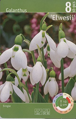 Dominik Blumen und Pflanzen, 32 Zwiebel Schneeglöckchen Größe 5/6