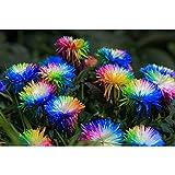 Auntwhale 100 Stück Regenbogen Chrysantheme Samen