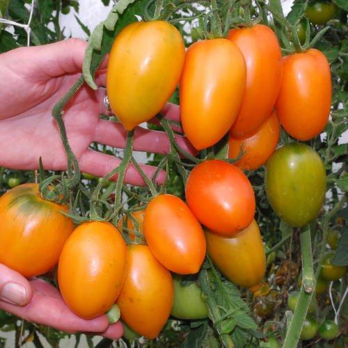 Just Seed???Tomate???Orange banana???20?Samen