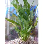 Fish Around Aquarium Live Plant Walissi 6