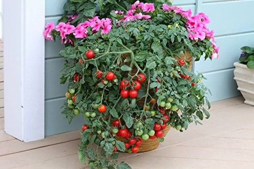tumbling-tom-tomato-seeds-for-patio-pots-planters-20-seeds-per-pack