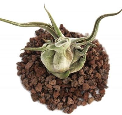 Tillandsia caput-medusae - lose Pflanze - groß