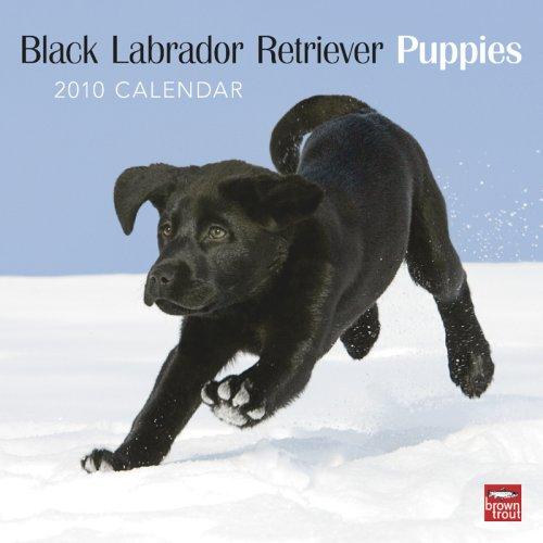 Black Labrador Retriever Puppies 2010 -