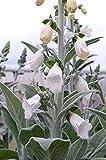 Just Seed - Flower - Foxglove - Digitalis Silver Fox - 2500 Seed - Large Pack