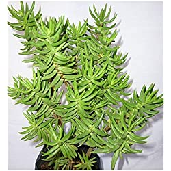 Crassula tetragona - Mini Pinien Baum - 10 Samen