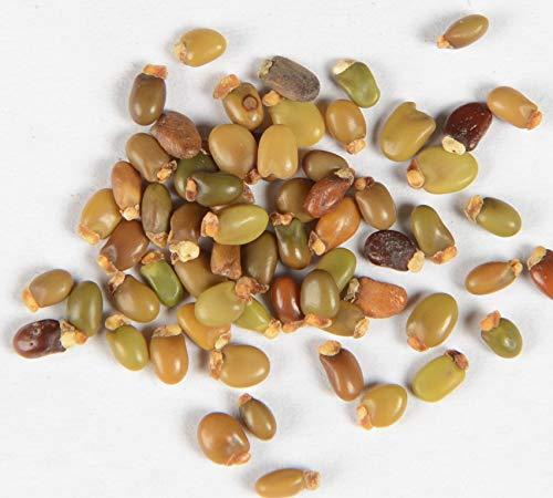 Besenginster Cytisus scoparius 120 Samen