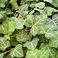 20 Stück Efeu 'Plattensee' - Hedera helix 'Plattensee' von Gartengruen24 auf Du und dein Garten