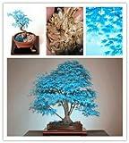 Rare Blau Maple Samen Maple Samen Bonsai-Baum-Pflanzen Topfgarten Japanischer Ahorn-Samen 30 Stücke / Los f63