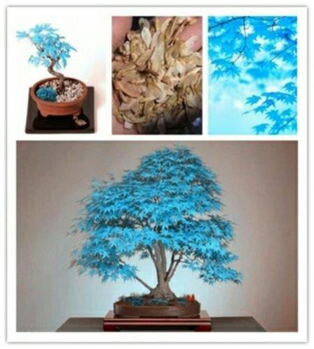 Rare Blu Maple semi di acero Semi piante bonsai albero in vaso giardino giapponese Maple Seeds 30 Pezzi Lotto F63 /