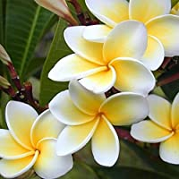 WuWxiuzhzhuo - Plumeria Rubra Frangipani Hawaiian Lei - Plantas de Jardín