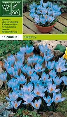 """Crocus - Krokus """" Fire Fly """" (15) von MOSSELMAN - Du und dein Garten"""
