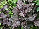 PLAT FIRM KEIM SEEDS PLATFIRM-1000 Perilla Samen, Red Leaf Shiso (Perilla) Einfach Kräuter wachsen