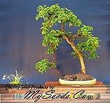 (20) asiatischen Hartriegel, japanische Cornel Dogwood SEEDS Cornus officinalis