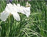 Japanische Sumpf Schwertlilie Diamant - Iris ensata