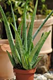 Echte Aloe Vera,medizinisch,ca.45cm, sehr große Pflanzen (4)