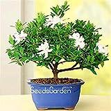Förderung! 100 PC-Gardenia Seeds (Cape Jasmin) -DIY Hausgarten-Topf Bonsai, erstaunliche Geruch und schöne Blumen für Zimmer, # W1OC