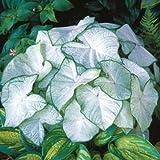#6: Caladium Moonlight Improved Flower Bulbs (2 Bulbs) By Kraft Seeds
