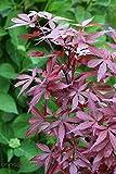 Roter Fächer-Ahorn `Skeeter's Broom´ Größe 10-L-Topf, 60-100 cm Pflanzenhöhe