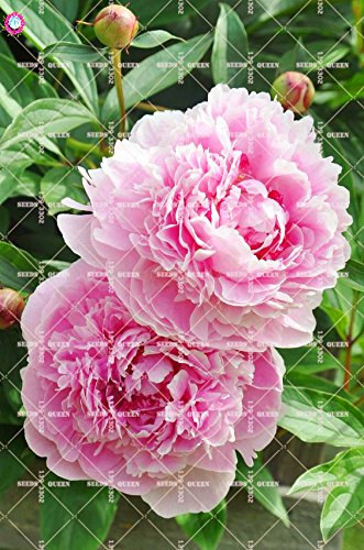 10 pcs Double Blooms Pivoine Graines Heirloom Sorbet robuste Pivoine rouge Bonsai Graines de fleurs Pot Arbre Pivoine Jardin Graines Plante 3
