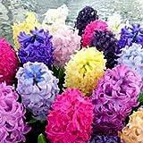 TOPmountain Semi di Hyacinthus Orientalis di colore misto 300pcs Decorazioni per la casa dei fiori Easy Grow Fragrant Seeds