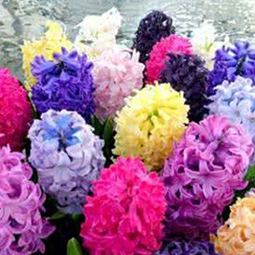 Topmountain semi di hyacinthus orientalis di colore misto 300pcs decorazioni per la casa dei fiori easy grow fragrant seeds