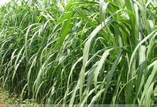 Quality American evergreen pelouse herbe semences résistantes au piétinement Stade Villa plante de jardin de la maison DIY 100g / Paquet