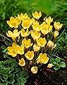 """1000 duftende Wild - Krokusse Blumenzwiebeln """"Romance"""" Gr. 6/7, ideal für Bienenfreunde,Gelb von Krull Pflanzenhandel bei Du und dein Garten"""