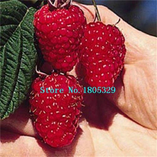 200PCS Pure semi rossi Rubus Lamponi Semi antiossidanti Bush Frutta Pianta semi di trasporto