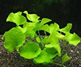 XL In-Vitro Mini-Seerose aus Taiwan / Nymphoides sp. 'Taiwan' ('Flipper')