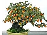 20 Semi cachi, Diospyros kaki, bonsai, Beautiful & Delicious Albero da frutto, semi della frutta