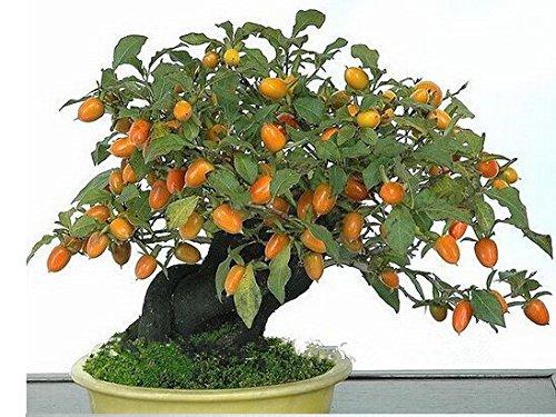 20-semillas-de-caqui-diospyros-kaki-exotico-bonsai-hermosa-y-deliciosa-de-la-fruta-del-arbol-semilla