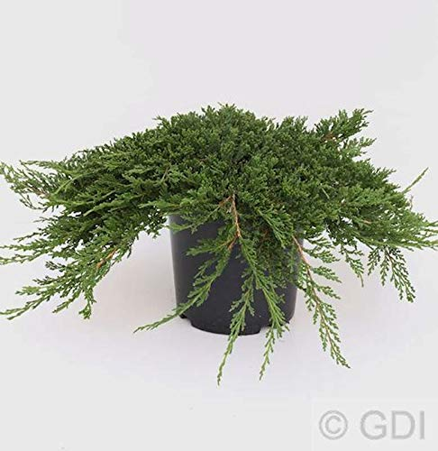 Teppich Wacholder Prince of Wales 40-50cm – Juniperus horizontalis