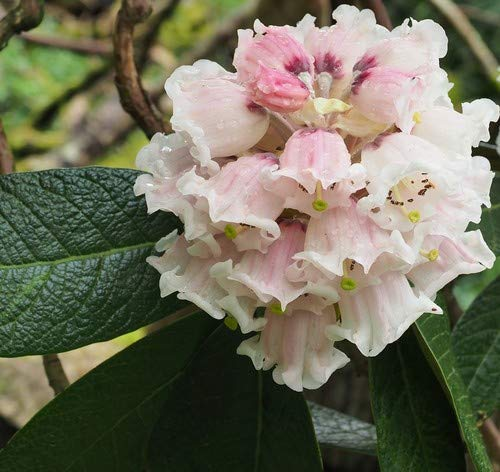 Plant World Seeds – Rhododendron Sinogrande Seeds